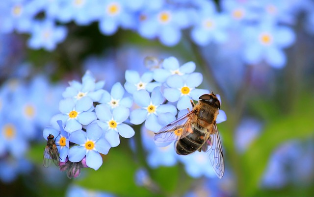 forget_me_not_257176_640_640