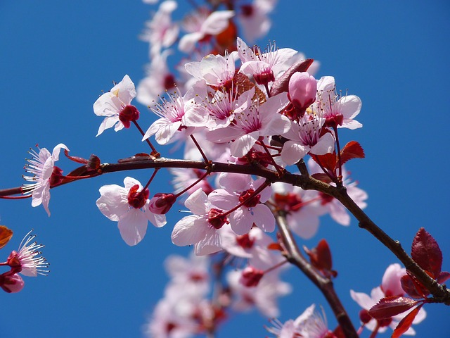 almond-blossom-5378_640